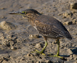Stirated Heron