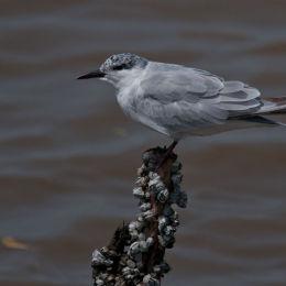 Gull Beaked Tern