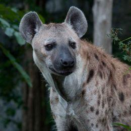 Captive Hyena