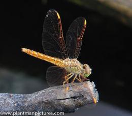 Ditch Jewel Dragon fly