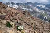 Glacier crowfoot