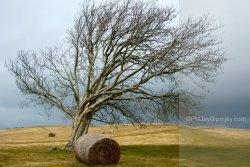 A much photographed tree on the slopes of Twyn y Gaer, Mynydd Illtud,