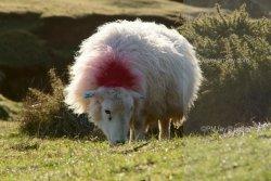 Rimlit sheep at Rhosili on the Gower Peninsula