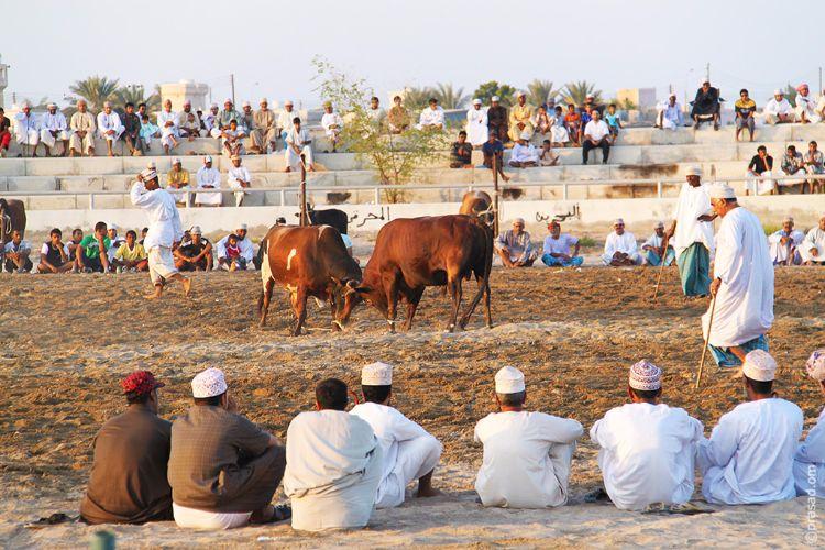Bull Fight in Barka
