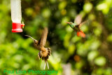 Long-billed Hermit and Rufous-tailed Hummingbird