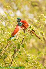 Carmine Bee-eaters