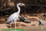 Grey Heron with an unlucky Catfish