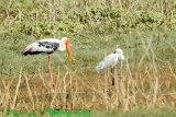 Painted Stork with Intermediate Egret