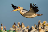 Great White Pelican coming in to land.