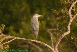 Grey Heron