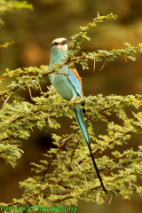 Abyssinian Roller (adult)