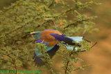 Abyssinian Roller in flight.