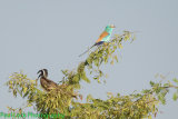 Abyssinian Roller with African Grey Hornbill