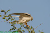 Swallow-tailed Kite balancing at the top of a tree in the wind.
