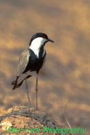 Spur-winged Lapwing (or S-w Plover)