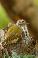 Cardinal Woodpecker (male)