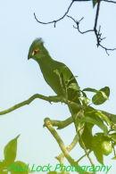 Green Turaco