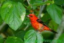Scarlet Tanager in the mulberry bush.