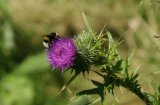 The Bee and Thistle....good name for a Pub.