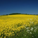 Rape Seed Oil plants on the South Downs......