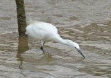Egret on the hunt