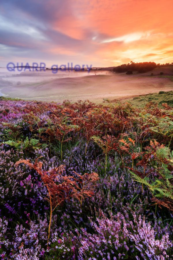 Rockford Common Heather at Sunrise