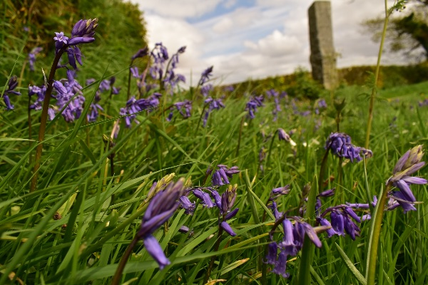 Bluebells and milestone near Tavistock May 2018