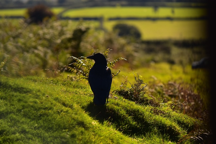 Crow near pew tor September 2018