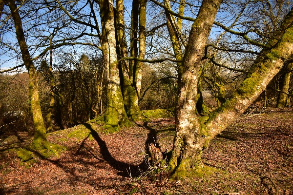 Beeches at Magpie Bridge March 2018