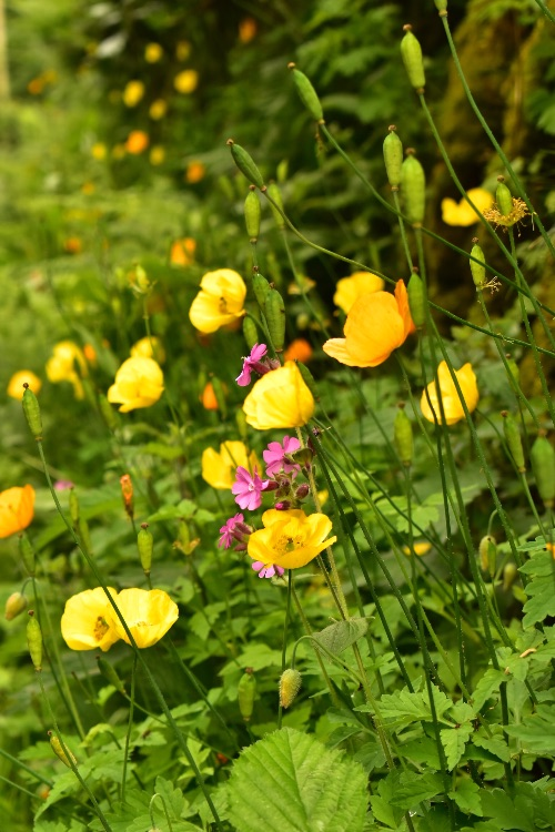 Roadside flowers at Moortown June 2018