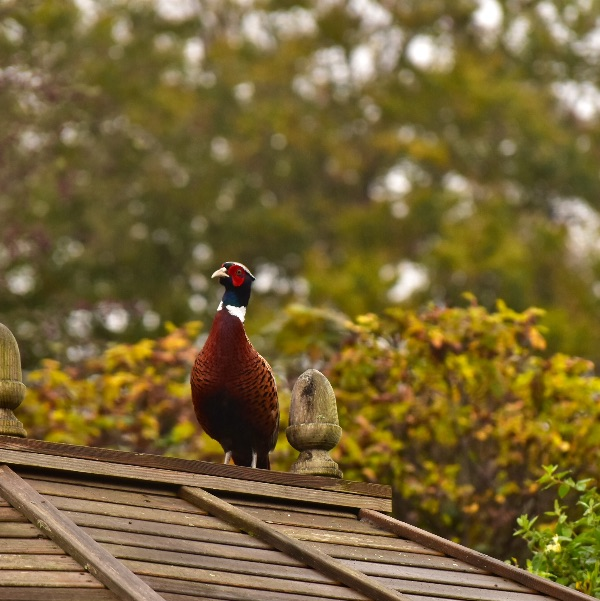 Pheasant 2017