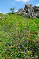 Bluebells Below Cuckoo Rock Dartmoor