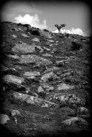 Hawthorn At Combestone Tor, Dartmoor