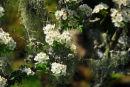 Hawthorn and Lichen Dartmoor