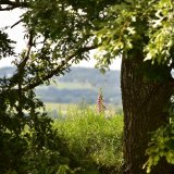Oak and foxglove near pew tor