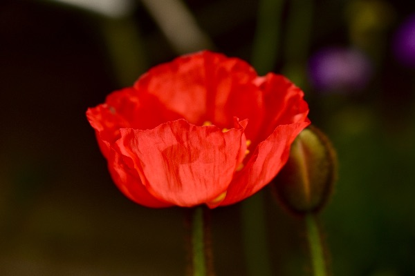 Red poppy June 2017