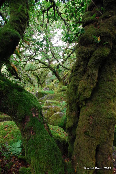 The view through the oaks Wistmans Wood Dartmoor