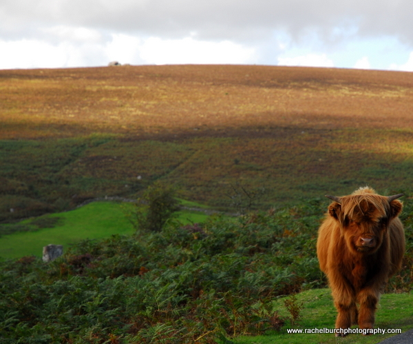 Highland Calf, Grimspound Dartmoor