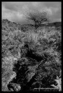 Willow and moorland brook near Grimspound Dartmoor
