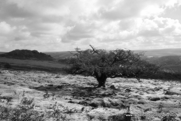 Hawthorn Peek Hill Dartmoor