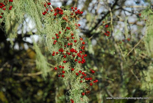 Hawthorn berries and lichen Burrator Reservoir Dartmoor