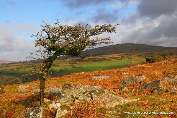 Hawthorn on a February Day Pew Tor Dartmoor