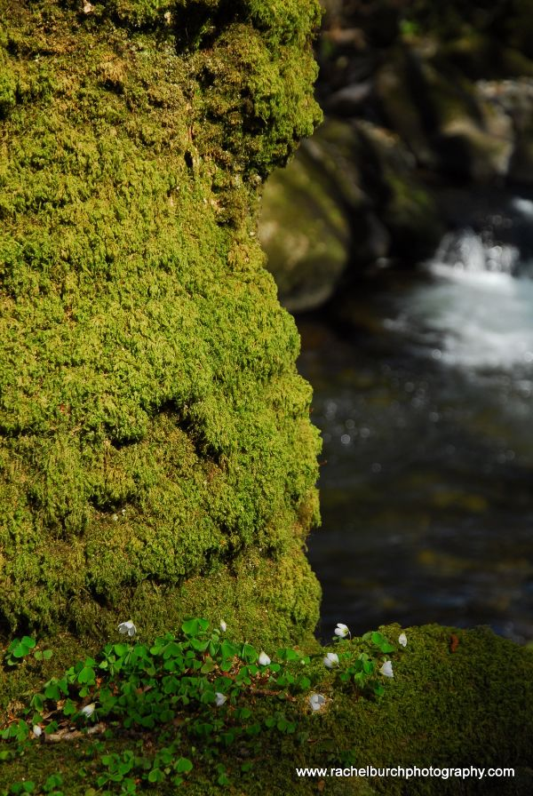 Mossy trunk and wood sorrel Plym Valley Devon
