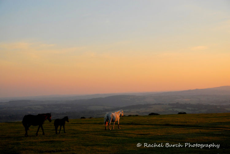 Dartmoor ponies and sunset, Pork Hill Dartmoor