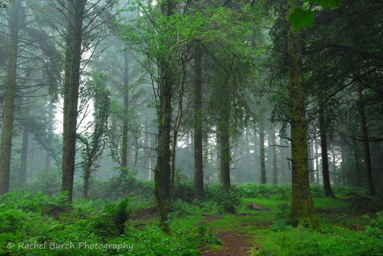 Mist in Pines At Burrator reservoir Dartmoor