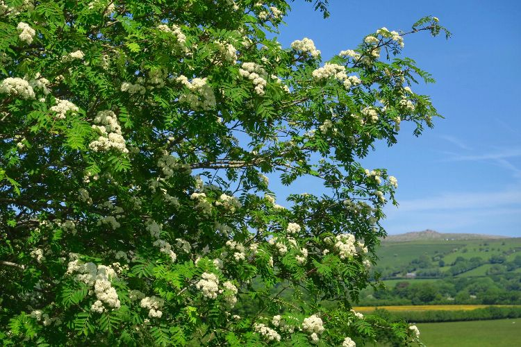 Rowan flowers, Whitchurch down, May 2016