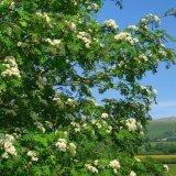 Rowan flowers, Whitchurch down, May 2016
