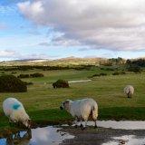 Sheep, Whitchurch down, February 2017