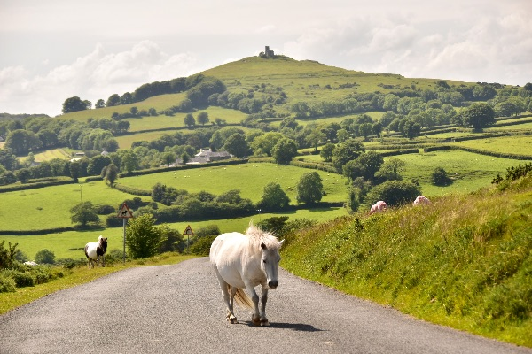 Pony and view of Brentor June 2017