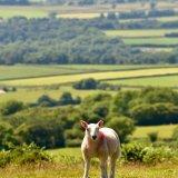 Sheep on Pork hill July 2017